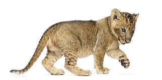 Side view of a Lion cub standing, pawing up, 7 weeks old. Isolated on white Stock Image