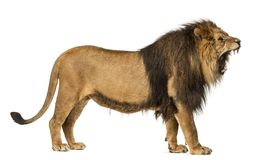 Side view of a Lion roaring, standing, Panthera Leo, 10 years old, isolated on white stock photography