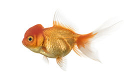 Side view of a Lion's head goldfish isolated on white. Side view of a Lion's head goldfish swimming isolated on white Stock Photography