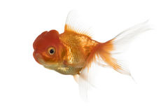 Side view of a Lion's head goldfish swimming. Isolated on white Stock Image