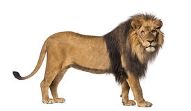 Side view of a Lion standing, looking at the camera stock image