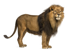 Side view of a Lion standing, Panthera Leo, 10 years old Royalty Free Stock Images