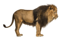 Side view of a Lion standing, Panthera Leo, 10 years old