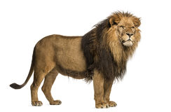Side view of a Lion standing, Panthera Leo, 10 years old Stock Image