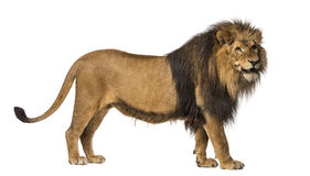Side view of a Lion standing, roaring, Panthera Leo Stock Photos