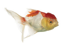 Side view of a lion's head goldfish Royalty Free Stock Image