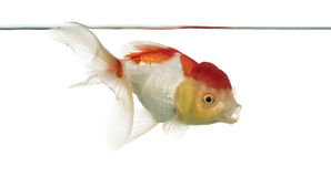 Side view of a lion's head goldfish Stock Photos