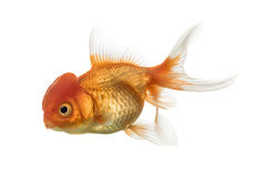Side view of a Lion's head goldfish isolated on white Royalty Free Stock Photo