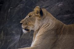 Lioness staring side view stock photo