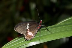 Side view of a little postman butterfly sitting on a green leaf with closed wings stock image