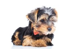 Side view of a little yorkie puppy looking away Stock Images
