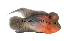 Side view of a Living Legend, Flowerhorn cichlid Stock Images