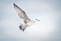 Side view of lone seagull. Seagull flying in the cloudy sky Royalty Free Stock Image