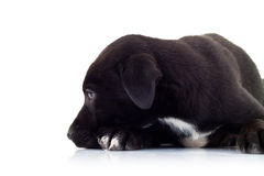 Side view of a lonely little black puppy dog. Looking very sad on white background stock photos