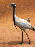 Side view of long legged bird. Walking on sandy background Stock Images
