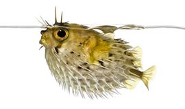 Side view of a Long-spine porcupinefish spiny balloonfish royalty free stock images