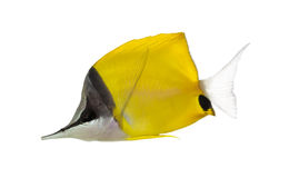 Side view of a Longnose Butterflyfish Stock Photo