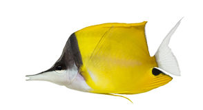 Side view of a Longnose Butterflyfish Royalty Free Stock Photography