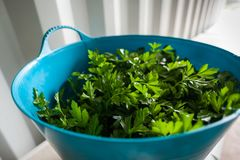 A side view looking into a blue container holding freshly harvested parsley herb. royalty free stock photography