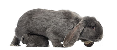 Side view of a Lop-eared rabbit and young rabbit, isolated. On white stock image