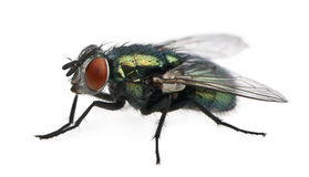 Side view of Lucilia caesar, blow-fly. Lucilia caesar, blow-fly, in front of white background Stock Photo