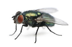 Side view of Lucilia caesar, blow-fly. Lucilia caesar, blow-fly, in front of white background Stock Image