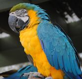 Macaw Side View royalty free stock photo