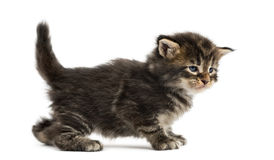 Side view of a Maine coon kitten Royalty Free Stock Image