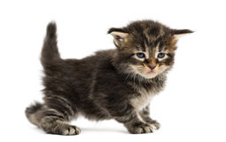 Side view of a Maine coon kitten Stock Photos