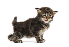 Side view of a Maine coon kitten Stock Photo