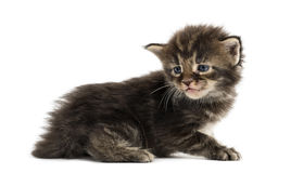 Side view of a Maine coon kitten Stock Images