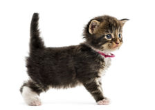 Side view of a Maine coon kitten Royalty Free Stock Photos