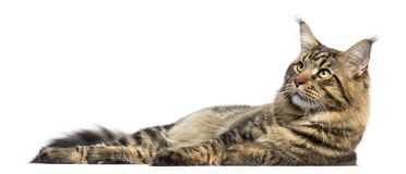 Side view of a Maine Coon lying down, isolated stock images