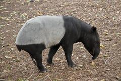 Malayan tapir. This is a side view of a Malayan tapir royalty free stock photos