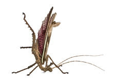 Side view of Malaysian jungle nymph, standing Stock Photography