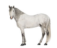 Side view of a Male Andalusian, 7 years old, also known as the Pure Spanish Horse or PRE, with plaited mane and looking at camera. Against white background royalty free stock image