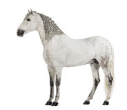 Side view of a Male Andalusian with plaited mane, 7 years old, also known as the Pure Spanish Horse or PRE. Against white background royalty free stock photos