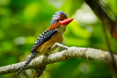 Side view of Male Banded Kingfisher Royalty Free Stock Images
