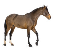 Side view of a Male Belgian Warmblood, BWP, 3 years old Stock Photos