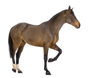 Side view of a Male Belgian Warmblood, BWP, 3 years old Stock Image