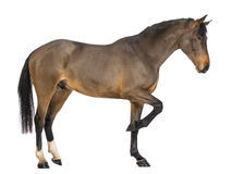 Side view of a Male Belgian Warmblood, BWP, 3 years old Stock Photography