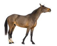 Side view of a Male Belgian Warmblood, BWP, 3 years old, stretching its neck. Against white background Royalty Free Stock Image