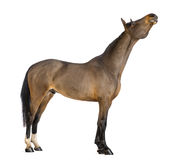 Side view of a Male Belgian Warmblood, BWP, 3 years old, stretching its neck up. Against white background Royalty Free Stock Images