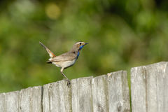 Side view of male Bluethroat at the fence Stock Image