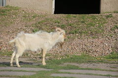 Side view of male goat with long blonde hair Stock Image