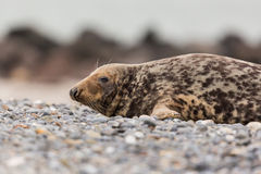 Side view of male gray seal Halichoerus grypus on gravel beach. With mountains in background Stock Images