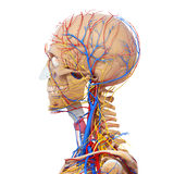 Side view of male head circulatory system. 3d art illustration of side view of male head circulatory system Royalty Free Stock Photo
