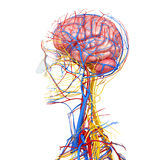 Side view of male head circulatory system. 3d art illustration of side view of male head circulatory system Stock Photos