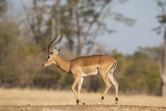 Side view of a male Impala walking Stock Image