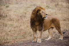 Side view of a male lion watching prey in the Ngorongoro national park (Tanzania) Royalty Free Stock Images